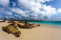 Lion seal colony enjoying a sunbath on paradisiac Garden Bay's white sand and turquoise water beach, on Espanola Island, Galapagos, Ecuador
