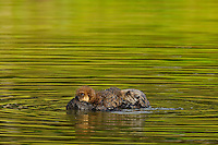 Sea Otter (Enhydra lutris) mother nursing young pup.