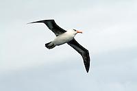 Campbell Island Albatross in flight off Campbell Island