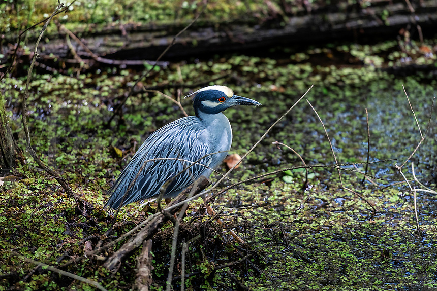 Yellow Crowned Night Heron at the Corkscrew Swamp Sancutuary.