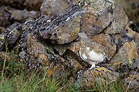 Rock Ptarmigan (Lagopus muta).  Alaskan tundra. Sept.