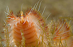 Red tipped fireworm,Chloeia viridis