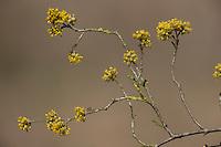 Kornelkirsche, Kornel-Kirsche, Kornellkirsche, Kornell-Kirsche, Blüte, Blüten, Cornus mas, Cornelian Cherry, Cornouiller mâle