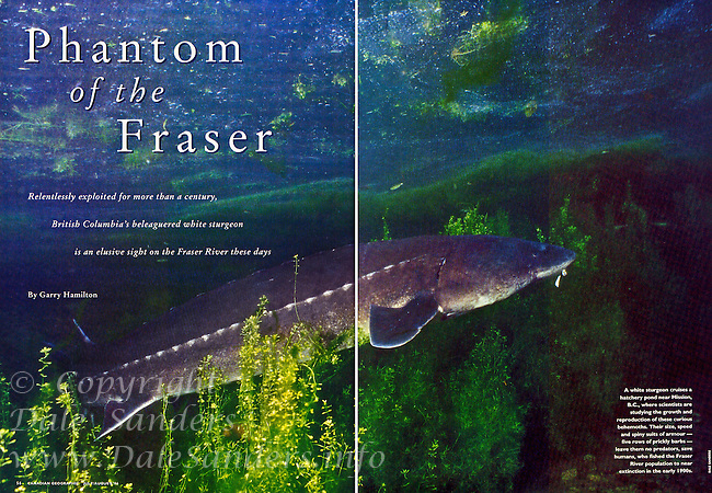 """Inside Two Page Spread for Canadian Geographic Magazine's """"Phantom of the Fraser"""" Sturgeon Article."""