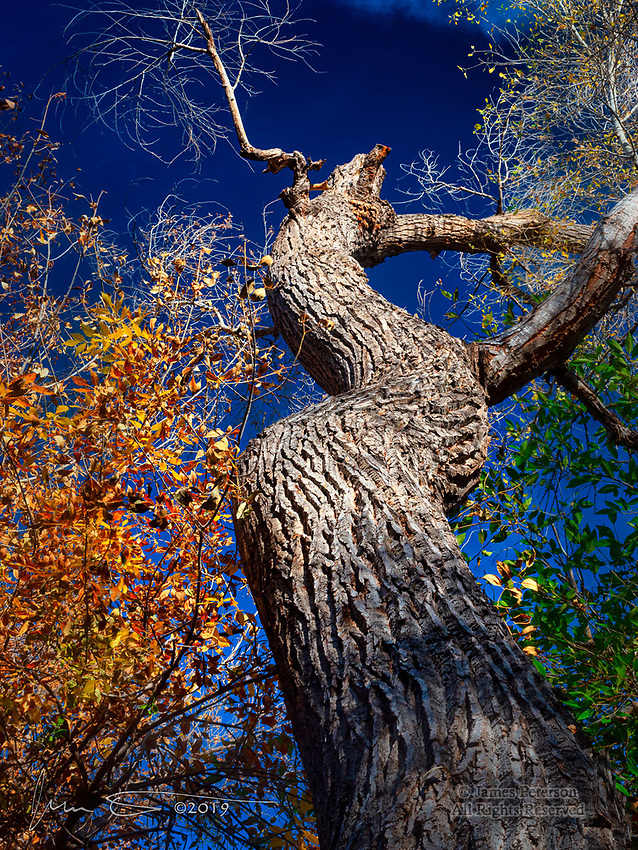 The Cottonwood's Can-Can.  This venerable tree, in spite of being deceased, obviously still knows its dance moves.  It was captured along Wet Beaver Creek in the Coconino National Forest, not far from Sedona.<br />
