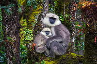 A pair of Langur monkeys (mother and baby) huddle together in the trees at Tango Goemba. Langurs are leaf eating monkeys and native to the dense mountain forests in Bhutan