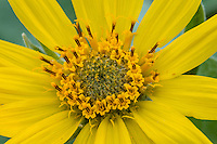 Arrowleaf Balsamroot (Balsamorhiza sagittata) wildflower.  Montana, May.