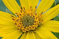 Arrowleaf Balsamroot (Balsamorhiza sagittata) wildflower.  Montana, May.