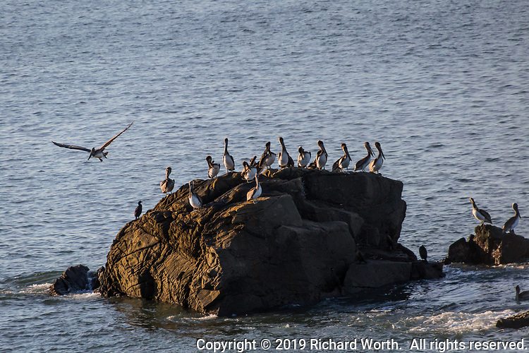 A brief of palicans along with two or three cormorants gather on rocks close to the shore at Año Nuevo State Reserve on the California coast.
