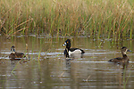 Pair of Ring-Necked Ducks