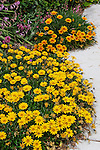 GAZANIA HYBRIDS TRAIL ONTO CONCRETE WALK