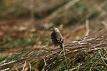 Water Pipit perched among grasses.