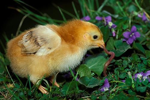 Chick eating earthworm