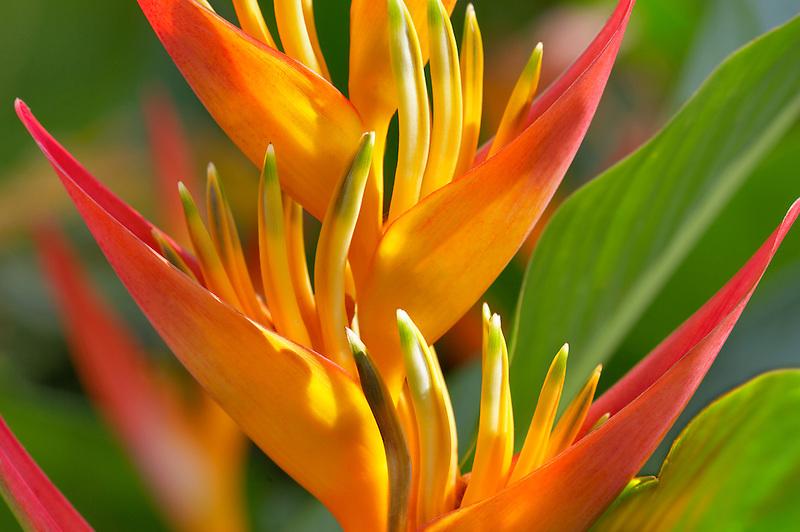 Heliconia blossom. Maui. Hawaii