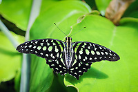 Tailed Jay Butterfly (Graphium agamamnon), adult, resting on leaf, captive