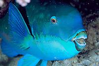 Common parrotfish, Scarus psittacus, Great Barrier Reef, Australia, Pacific Ocean