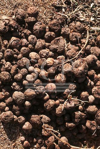 Raqchi, Peru. Freeze-dried Chuño potatoes drying on the ground.