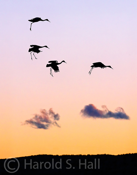 Sunrise at the Bosque del Apache National Wildlife Refuge near Soccoro, New Mexico.  Four Sandhill cranes fly in at sunset