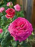 Stephen's Big Purple Rose, Rosa hybrid