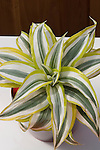 White Surprise Dracena hybrid