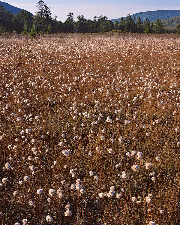 Cottongrass (Eriophorum virginicum) at the Cranberry Glades Botanical Area; Monongahela National Forest, WV