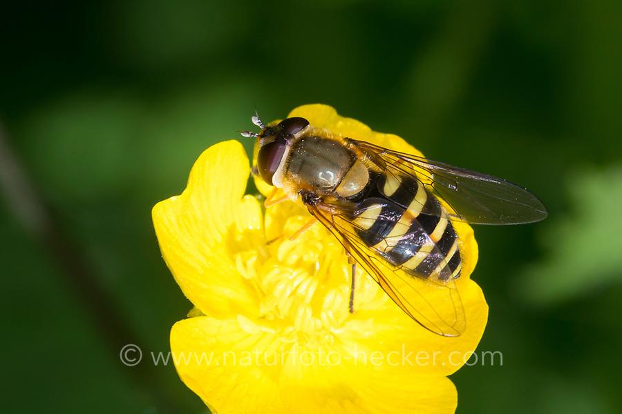 Gemeine Schwebfliege, Grosse Schwebfliege, Große Schwebfliege, Garten-Schwebfliege, Gartenschwebfliege, Weibchen beim Blütenbesuch, Nektarsuche, Bestäubung, Syrphus ribesii, currant hoverfly, currant hover fly, female, Le syrphe du groseillier