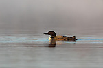 Common loon swimming in the early morning mist.