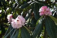 Schöner Rhododendron, Schönes Rhododendron, Rhododendron, Rhododendron Wildart, Rhododendron calophytum, beautiful-face rhododendron