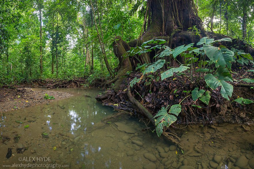 River running through dense lowland rainforest. Corcovado National Park, Osa Peninsula, Costa Rica, May.