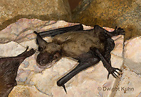 MA20-702z  Big Brown Bat 4 week old young,  Eptesicus fuscus