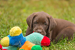 Chocolate Labrador retriever puppy chewing on a colorful toy.