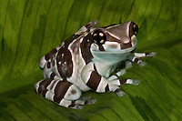 """Amazon Milk Frog (Trachycephalus resinifictrix) Amazon milk frogs are fairly large frogs, reaching sizes of 2.5 to 4 inches in length. Adult frogs are light grey in color with brown or black banding, while juveniles will exhibit stronger contrasts. As Amazon Milk Tree Frogs age their skin will develop a slightly bumpy texture.<br />  <br /> The """"milk"""" in the name comes from the milky colored fluid these frogs excrete when stressed."""