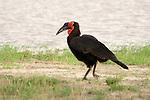 Southern ground hornbills (Trachuphonus vaillantii) are some of the most long-lived birds.<br /> <br /> Kwara Reserve, Okavango Delta, Botswana