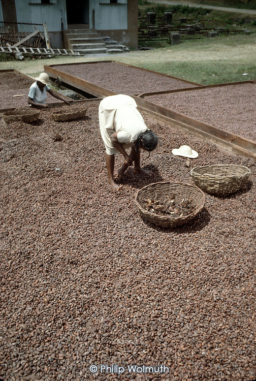 A Women spread cocoa beans out do dry in the sun