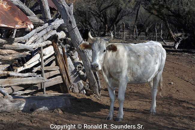 RANCH COW<br />