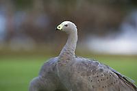 Cape Barren Geese on the golf course in Esperance, Western Australia