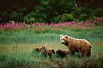 Already voyagers in the great land of Alaska's coast, three baby brown bears heed the call of their mother and gather to follow close behind.