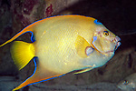 Queen angelfish swimming right.
