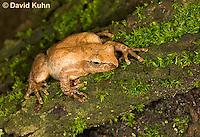 0302-0909  Spring Peeper Frog Climbing Mossy Tree Bark, Pseudacris crucifer (formerly: Hyla crucifer)  © David Kuhn/Dwight Kuhn Photography