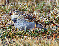 Male McCown's longspur in early January