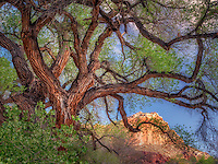 Old cottonwood tree and cliffs around Fruita, Capitol Reef National Park, Utah