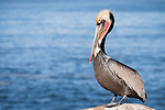 La Jolla, California; a brown pelican with bright red breeding plumage resting on the rocks above the Pacific Ocean in early morning sunlight