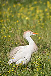 Brazoria County, Damon, Texas; a Cattle Egret fluffs its feathers while foraging for food in a pasture, filled with yellow wildflowers, in early morning sunlight