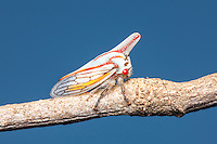 An Oak Treehopper (Platycotis vittata) perches on a twig.
