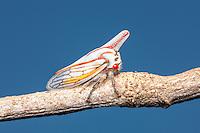 An Oak Treehopper (Platycotis vittata) perches on a twig.