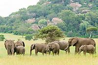 African bush elephants (Loxodonta africana), Moru Kopjes, Serengeti, Tanzania, Africa