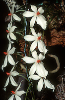 Aerangis Somasticta orchid hybrid against black background