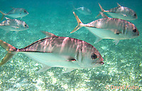 0109-1203  Small School of Horse-eye Jacks (Giant-eye Jack) in Caribbean Reef, Gamefish, Caranx latus  © David Kuhn/Dwight Kuhn Photography