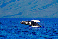 Humpback whales breaches with the Island of Lani in the distance.