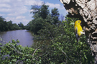 Prothonotary Warbler (Protonotaria citrea), adult at nesting cavity, Neuse River, Raleigh, Wake County, North Carolina, USA